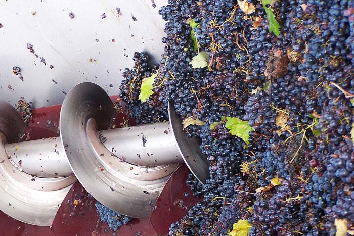 Vino senza solfiti. Entrata dell'uva in cantina